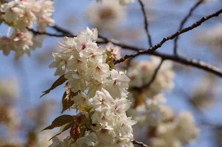 鬱金(ウコン)