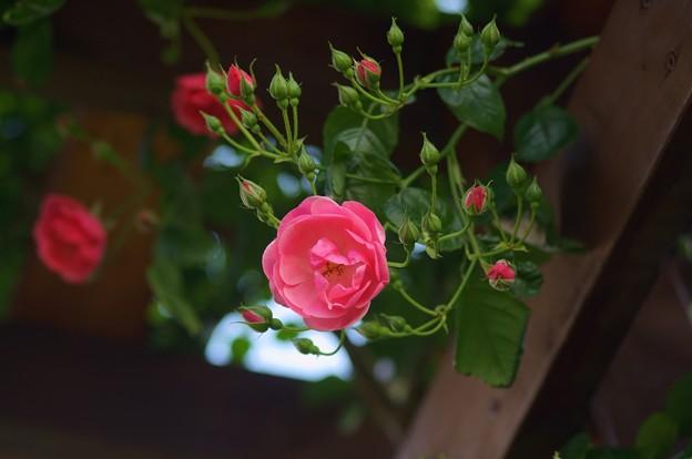 薔薇 アンジェラ