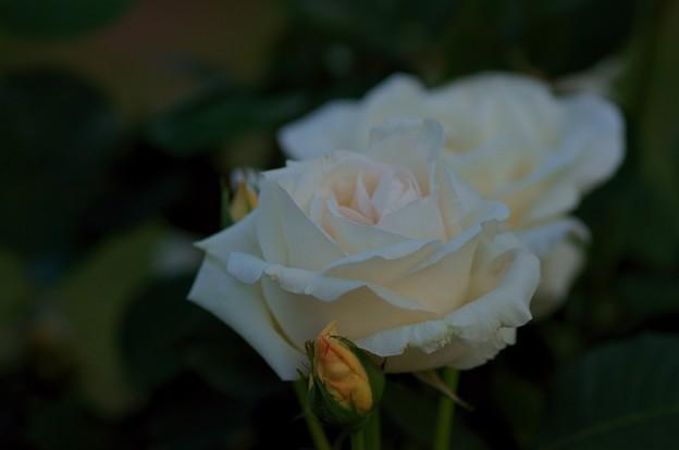 薔薇 ホワイト・クリスマス