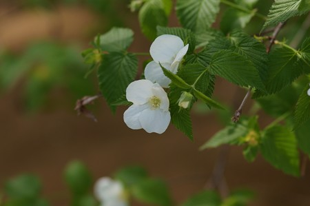 白山吹(シロヤマブキ)