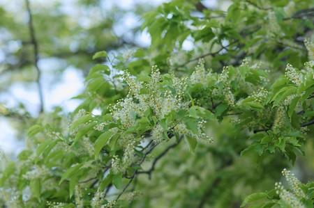 犬桜(イヌザクラ)