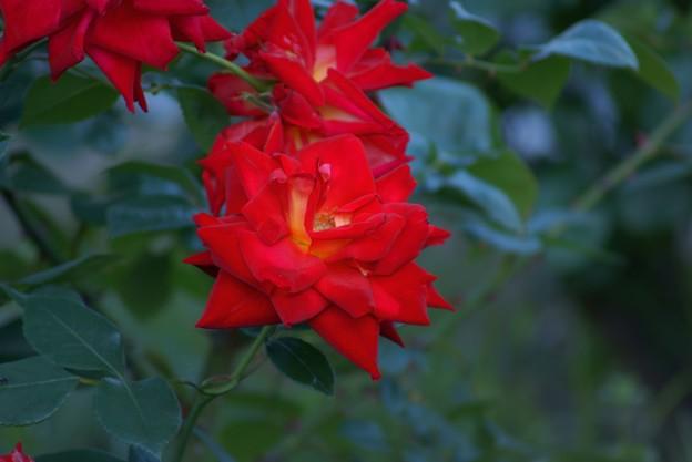 薔薇 かがやき