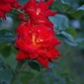 Photos: 薔薇 かがやき