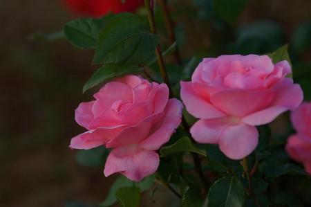 薔薇 クイーン・エリザベス