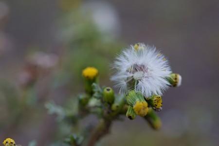 野襤褸菊(ノボロギク)
