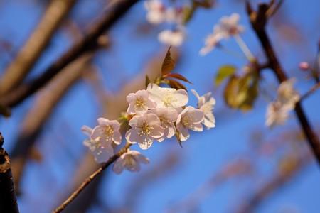 大山桜(オオヤマザクラ)
