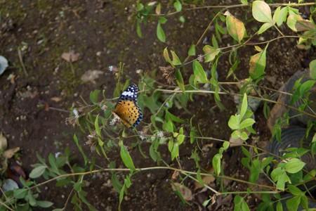 ツマグロヒョウモン ♀