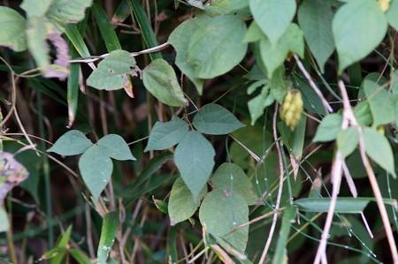 吐切豆(トキリマメ)