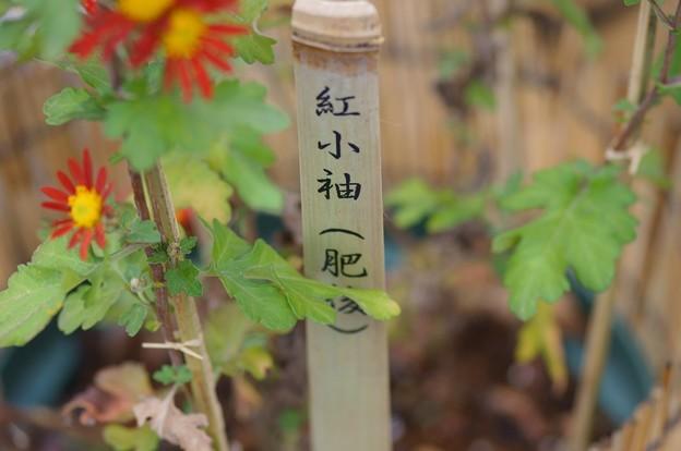 Photos: 肥後菊 紅小袖