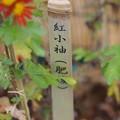 肥後菊 紅小袖