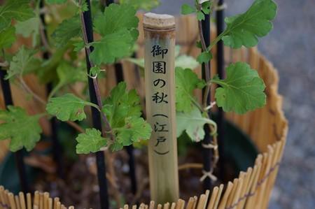 江戸菊 御園の秋