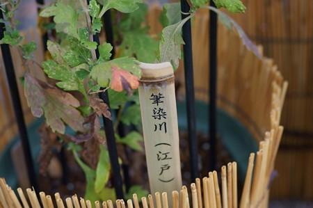 江戸菊 筆染川