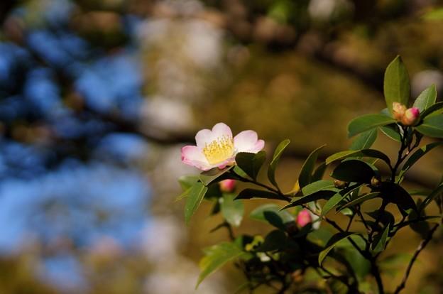山茶花(サザンカ)