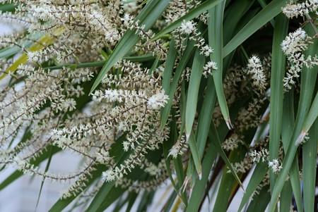 匂い棕櫚蘭(ニオイシュロラン)