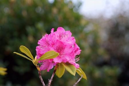 西洋石楠花(セイヨウシャクナゲ)