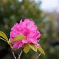 Photos: 西洋石楠花(セイヨウシャクナゲ)