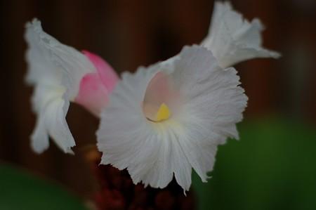 大穂咲き菖蒲(オオホザキアヤメ)