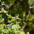 丸葉空木(マルバウツギ)