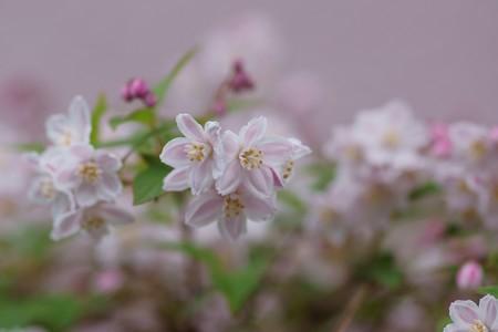 桜空木(サクラウツギ)
