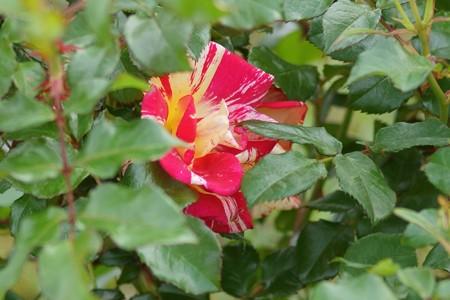 薔薇 パープル・タイガー