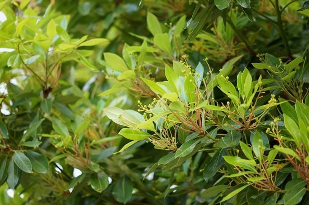 椨の木(タブノキ)