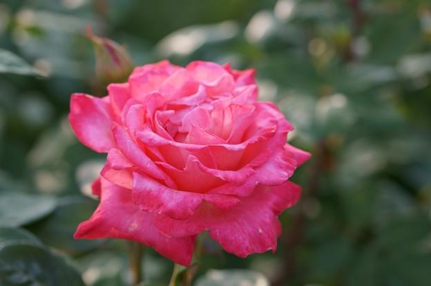 薔薇 ステファニー・ドゥ・モナコ