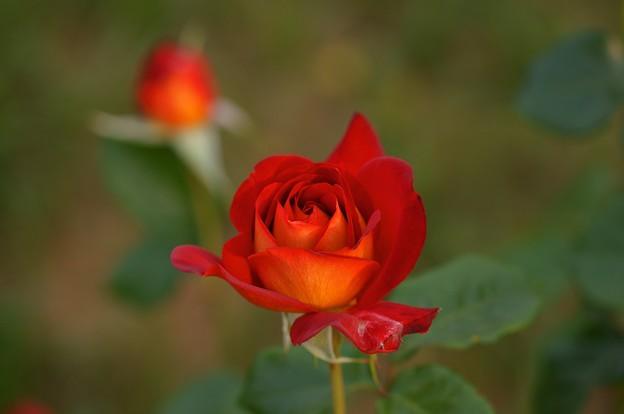 薔薇 希望