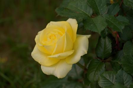 薔薇 ファルツァー・ゴールド