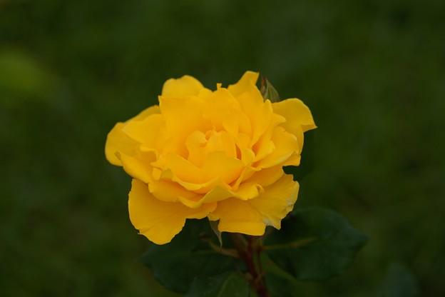 薔薇 ヘンリー・フォンダ