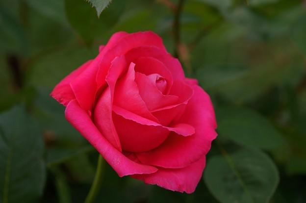薔薇 恋心