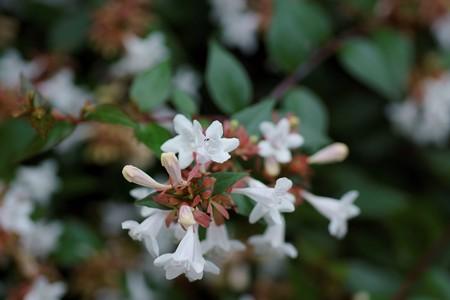 花園衝羽根空木(ハナゾノツクバネウツギ)