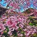 Photos: 新潟の桜