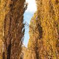 写真: 秋のポプラ並木(北大)