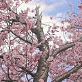 Photos: 河畔の桜