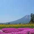 芝桜と菜の花と羊蹄山
