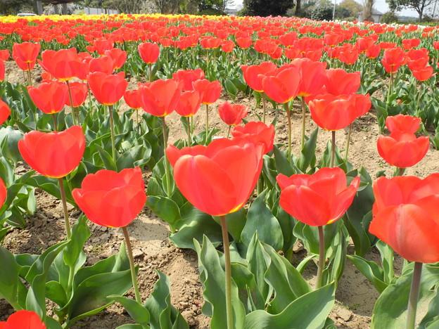 2018.04.03 和田公園 チューリップ