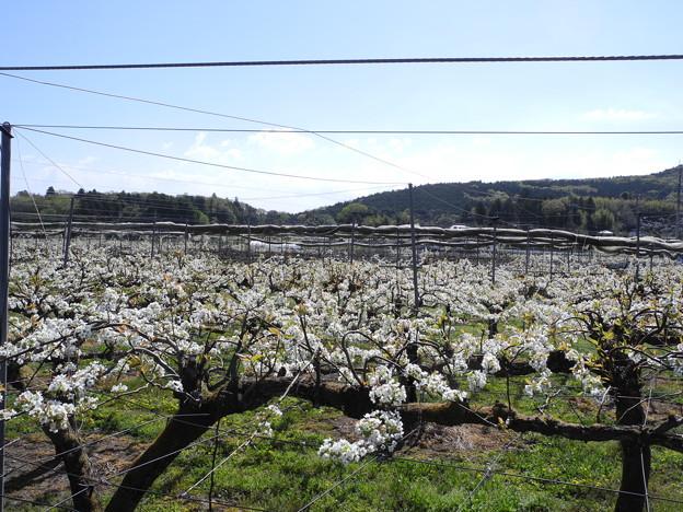 2018.04.08 きょうの風景・梨の花と雲