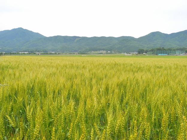 2018.05.21 きょうの風景(麦畑・新緑・薄い雲)