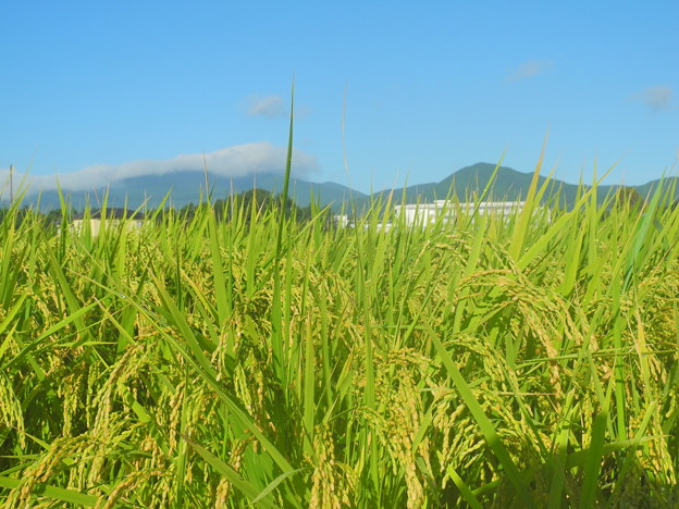 2018.08.23 きょうの風景(稲穂と雲)