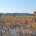 Photos: 2018.10.25 きょうの風景・レンコンの枯葉と青空
