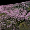 Photos: 桜の春光寺 2