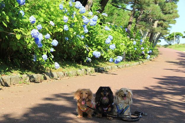 あじさいとパチリ(城ヶ島公園2014年6月14日)
