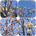 薬師池公園の梅(2016年2月27日)