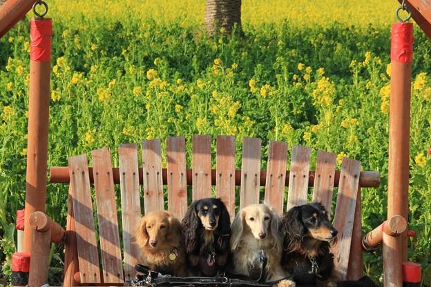 菜の花をバックに(渥美半島菜の花まつり/伊良湖菜の花ガーデン2018.2.10)