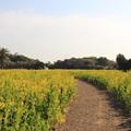 Photos: 菜の花の小道をお散歩しよう(渥美半島菜の花まつり/伊良湖菜の花ガーデン2018.2.10)