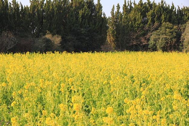 渥美半島菜の花まつり(伊良湖菜の花ガーデン2018年2月10日)