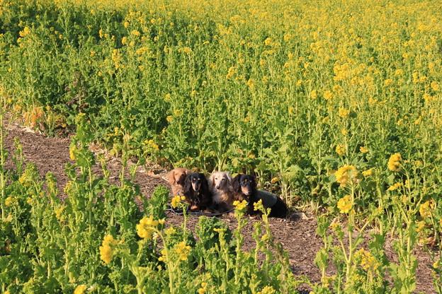 菜の花畑でパチリ(渥美半島菜の花まつり/伊良湖菜の花ガーデン2018年2月10日)