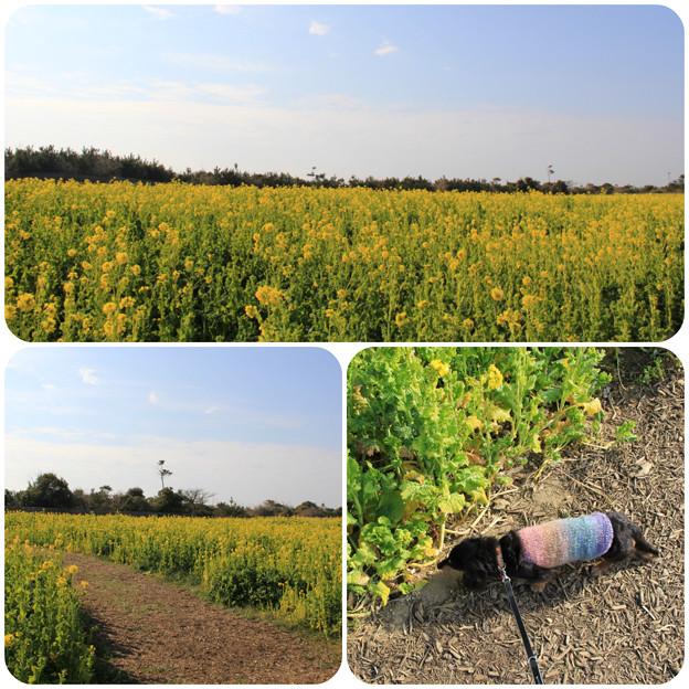 菜の花畑をお散歩(渥美半島菜の花まつり/伊良湖菜の花ガーデン2018年2月10日)