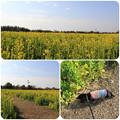 Photos: 菜の花畑をお散歩(渥美半島菜の花まつり/伊良湖菜の花ガーデン2018年2月10日)