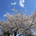 写真: 満開の桜(大石公園2018年4月8日)